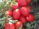 TÜKENDİ Bursa domates ÇİFÇİDEN