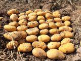 kışlık agire toprağa ilk ekim şekil bozukluğu yok a kalite