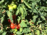 iznik besevler dalindan domates