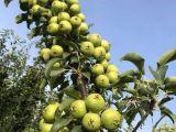 Her turlu meyve fidani bulunur